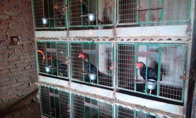 Galos foram encontrados com sinais de maus-tratos — Foto: Divulgação/PM Ambiental