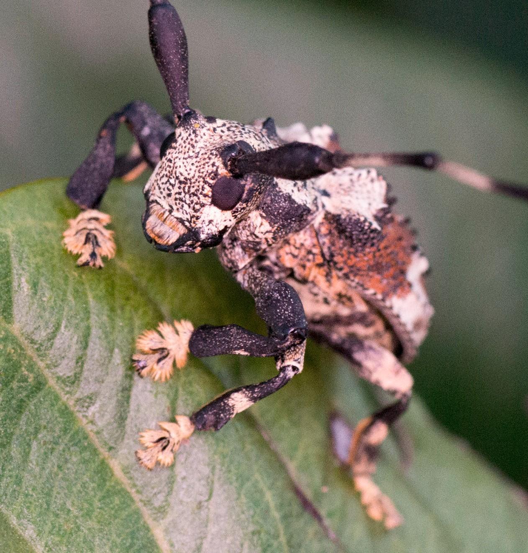 Besouro-escorpião é venenoso e é capaz de picar — Foto: Antonio Sforcin Amaral/Arquivo Pessoal