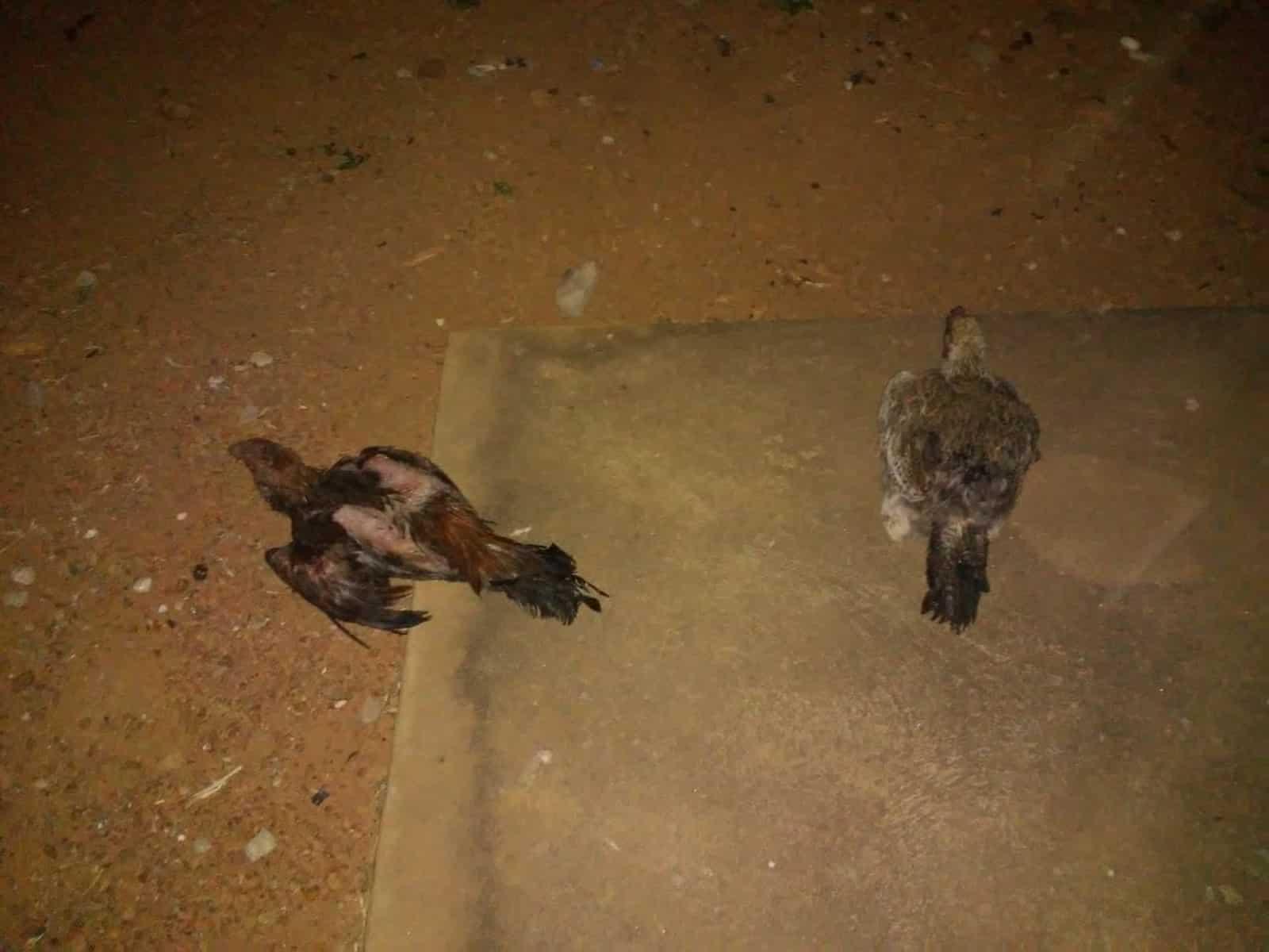 Dezesseis galinhas morreram após ataque de abelhas — Foto: João Carlos/Defesa Civil