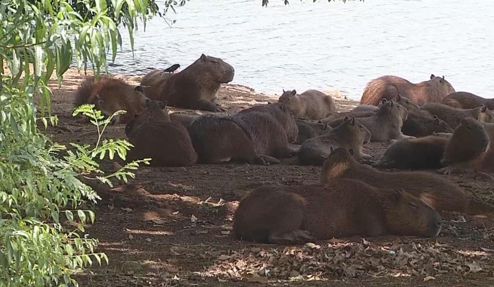 Lago municipal de Ipaussu tem muitas capivaras, animais que colaboram para a proliferação da doença — Foto: Reprodução/TV TEM