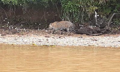Vigilantes flagraram onça-pintada às margens do Rio Paranapanema — Foto: Reprodução/Facebook/Morro do Diabo