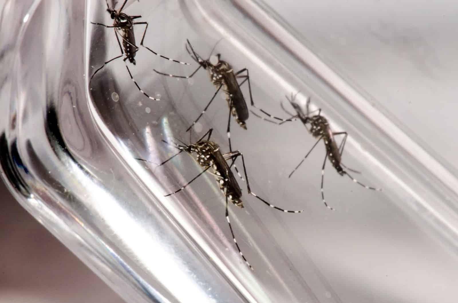 Mosquito Aedes aegypti é o tranmissor da zika, dengue e chikungunya. — Foto: Rodrigo Méxas e Raquel Portugal/Fundação Oswaldo Cruz/Divulgação