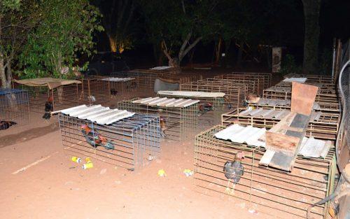 Um total de 74 galos da raça índio foram apreendidos na propriedade rural onde aconteciam as rinhas — Foto: Polícia Ambiental/Divulgação
