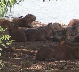 Estudo identifica que capivaras de lago de Ipaussu estavam infectadas com bactéria da febre maculosa — Foto: Reprodução/TV TEM