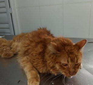 Gato foi levado a uma clínica veterinária, onde recebeu cuidados por três dias — Foto: Arquivo Pessoal / Thayrine Oshima